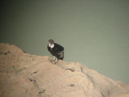 Female Andean Condor at Laguna Torre. Glaciar + mountains + condors = happy Sarah!