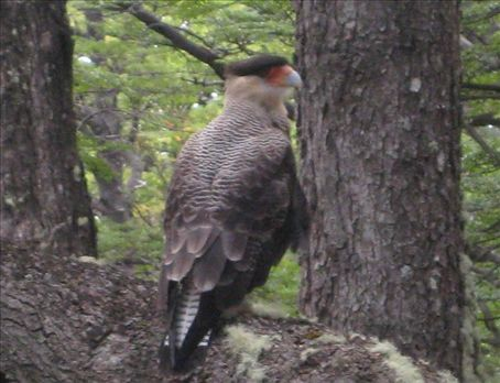 One of three Crested Caracaras that frequented our campsite at Fitz Roy