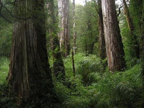 The mighty Alerce trees in Chile.