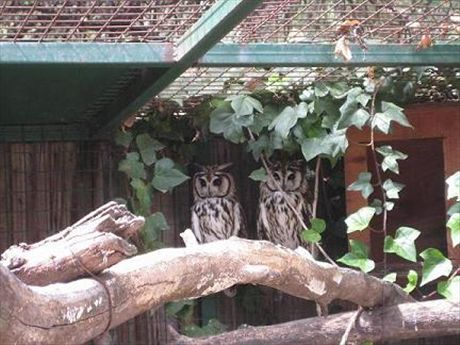 A pair of unidentified South American owls at the Córdoba Zoo. Anyone care to ID them for me? They're some of the prettiest owls I've ever seen.