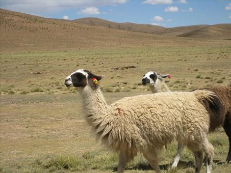 Llamas on the altiplano. They mark the llamas with fluffy wool tassels on the ears instead of branding them -- a way cuter and kinder method, methinks.