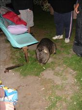 A wombat enjoys popcorn prior to the movie starting.: by an_oliver, Views[247]