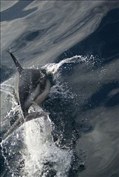 Dusky dolphins hitching a ride with the whale watch boat: by an_oliver, Views[193]