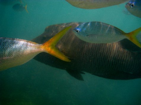 The friendly maori wrasse