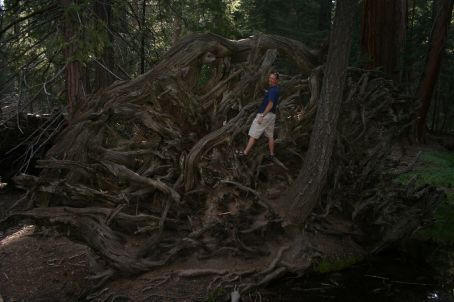 Root system of a collasped Sequoia tree