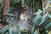 We were so lucky to get this close to a new Koala mum and her babe.: by andyandsam, Views[335]