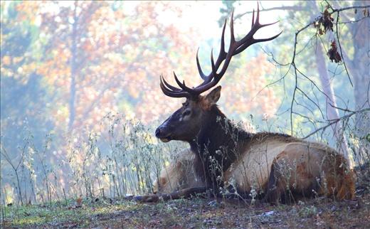 Bull elk in the morning fog. Beautiful animal worth preserving.