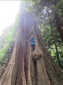 1000 year old Bondi tree that our tour guide scaled.: by anealis314, Views[134]