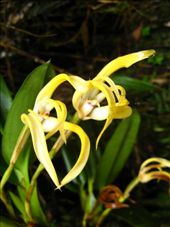 Peru have cool orchids...: by ang_glover, Views[161]