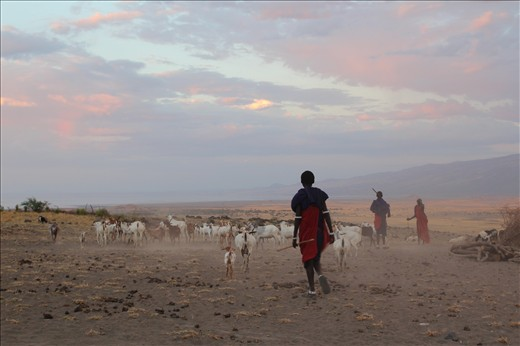 The herding of cattle and goats is a constant daily routine to allow the animals to graze the land. The Masai herd them back inside their boma overnight for safe keeping from other animals and tribes.