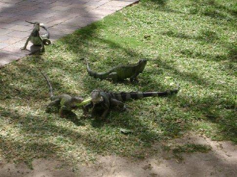 Chameleons on Aruba