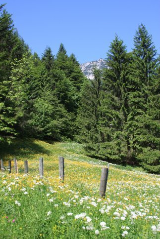 Alpine meadow, Austria