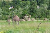 Family stacking hay, Romania.: by anijensen, Views[400]