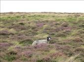 Sheeps in the heather.: by anijensen, Views[149]