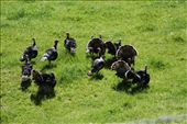 Wild turkeys, stalked by a photographer and a hawk circling overhead.  They were gobbling and carrying on.: by anijensen, Views[196]