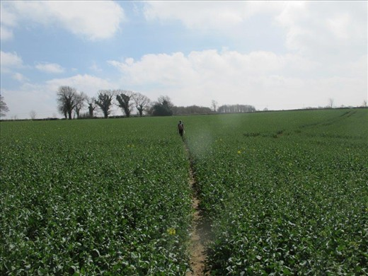 Trekking across a field of rapeseed (canola)