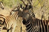 Zebras: by anijensen, Views[55]
