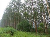 Eucalyptus tree plantation (for paper production): by anijensen, Views[145]