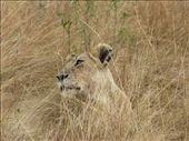 Lioness at Masai Mara: by animals, Views[195]