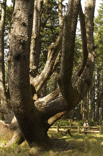 The old and magnificent Octopus Tree - Cape Meares, Oregon. Heritage listed and amazing to see!