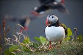 Puffins are busy preparing their breeding caves, although one of them stays curiously watching us as we take the photo. The bird is not endangered much by many terrestrial predators therefore it stays calm and fearless.: by annadal, Views[134]