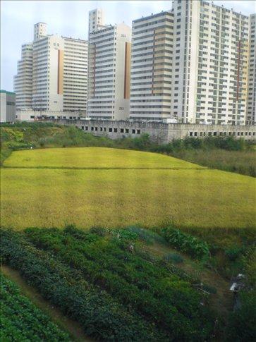 rice, vegetable fields & high-rises
