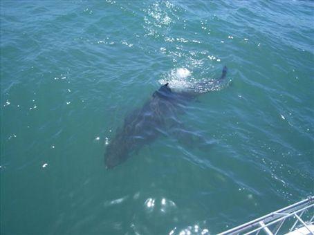 Simon's shark-cage dive