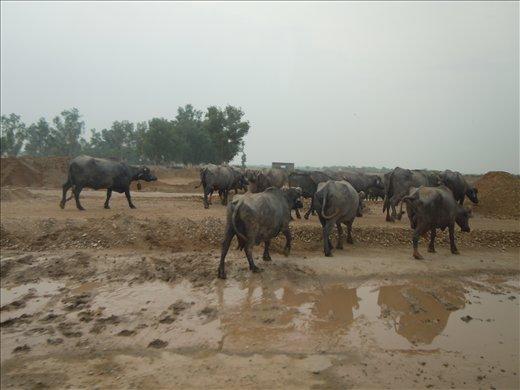 waterbuffalos we met on the way to Multan