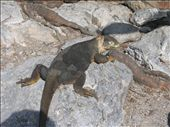 An iguana taking it easy, as most of them seem to do.: by aptyson, Views[258]