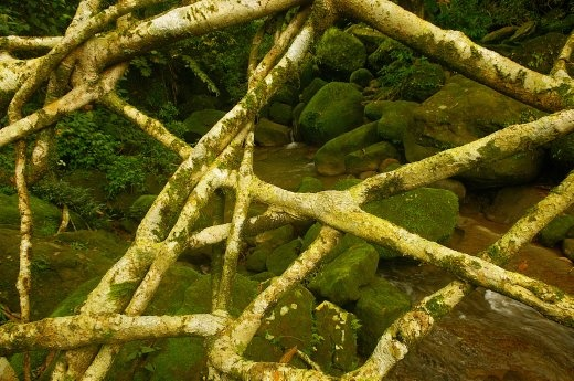 The braiding of roots make the bridge strong and they are live!