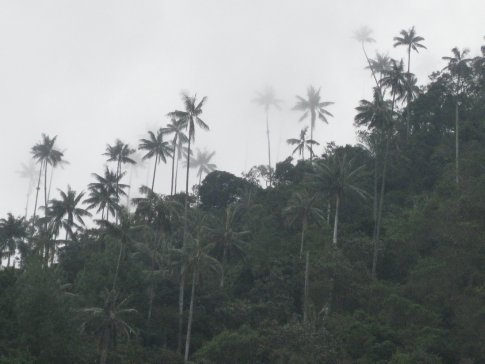 Wax palms at Valle Cocora