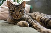 Findus the representative from the cat family. : by ashleyheilmann, Views[208]