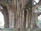 El Tule! l`albero piu` largo del mondo....cosi` dicono: by auaround, Views[1228]