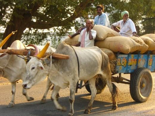 bullocks, India