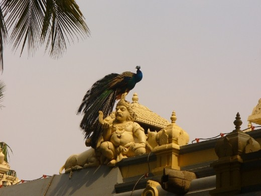 peacock on the roof of the ashram