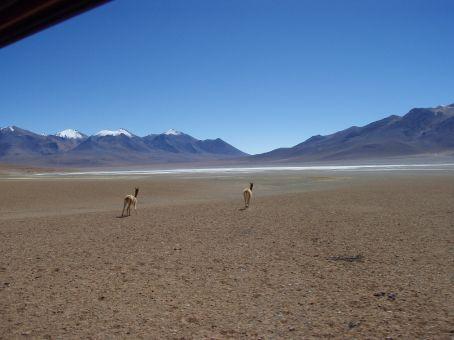 Vicuñas on the run.