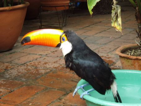 One of the resident Toucans in our Sta Cruz hostel