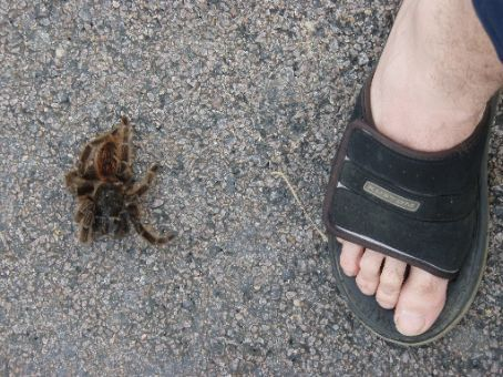 TARANTULA!!!  This was a smallish one.  Oh and it was dead too.