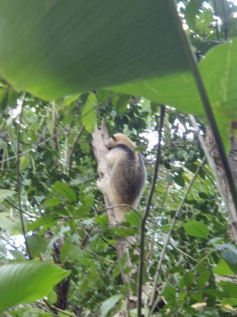 Arboreal anteater along my jungle walk.  Busy snuffling his nose into an ants nest in the tree.