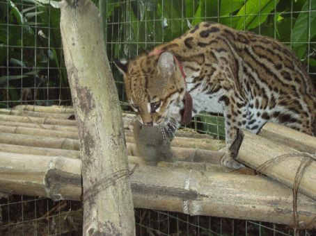Eric`s close encounter with an Ocelot!  He was rescued from the floor the minute he was dropped and stuffed rather unceremoniously out through the cage wire.