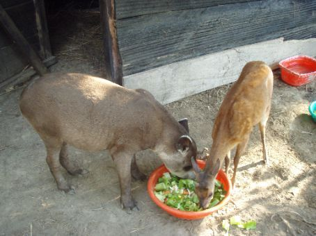 Herbie the tapir and Bambi the dear.  Herbie takes out 1st prize for the weirdest looking animal in the park!