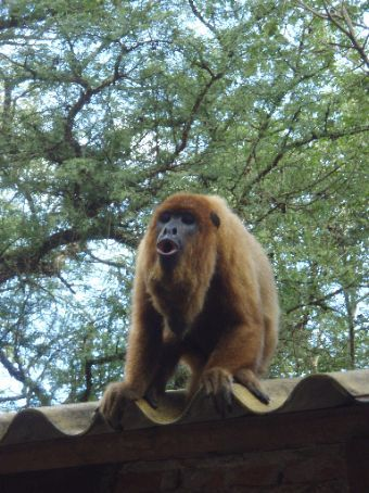 Faustino the howler monkey getting a howl up.  Howler monkeys howl/roar when they`re in a group... we were Faustino`s group and as long as we were willing to make noisy fools of ourselves, he would join in.