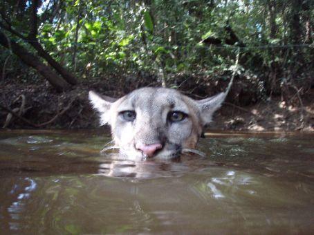 Yassi the swimming puma