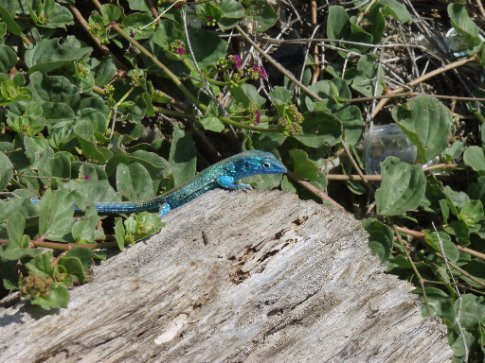 Who needs a blue-tongue when they can be ALL blue!