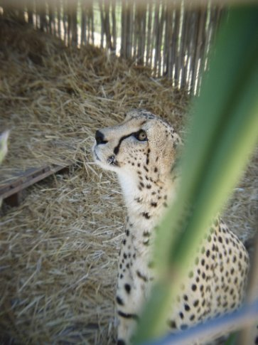 Hemingway the cheetah. Didn't want to work this day, see the pleading look!
