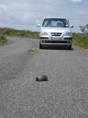 Tortoise making a crawl for it.