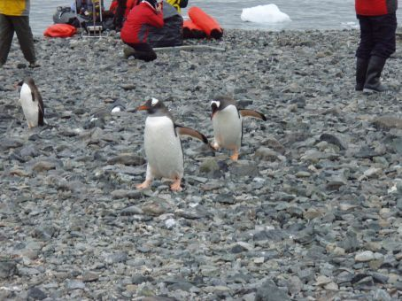 Gentoo penguins coming back up the beach