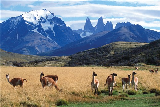 The infamous guanacos of Torres del Paine National Park.