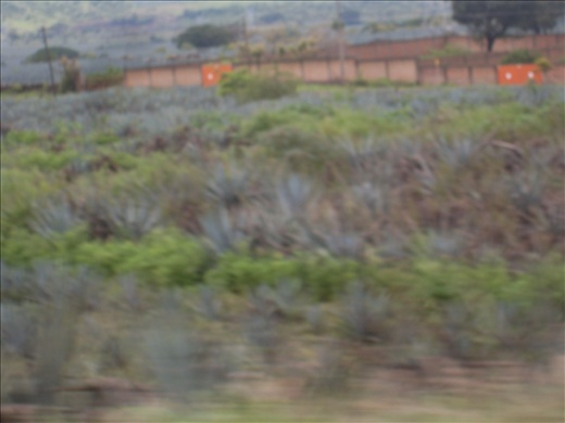 Agave's fields, where tequila is made. Jalisco, Mexico