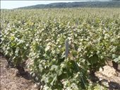 Champagne's fields in northern France. : by baskets_in_a_ring, Views[180]